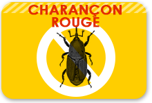 charancon rouge